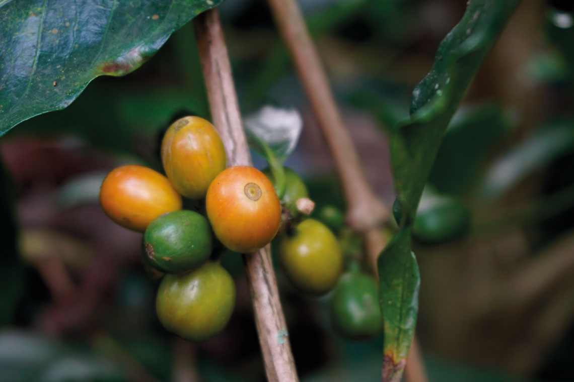 chicchi di caffè dell'etiopia