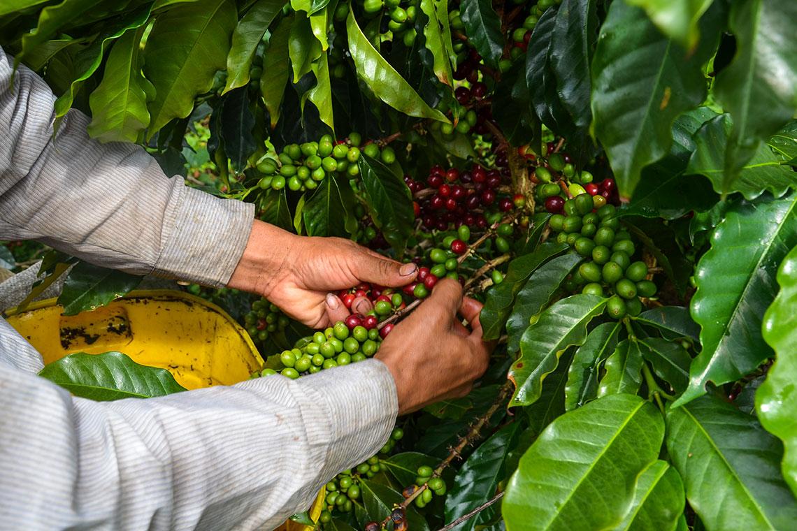 la raccolta a mano del caffè colombiano