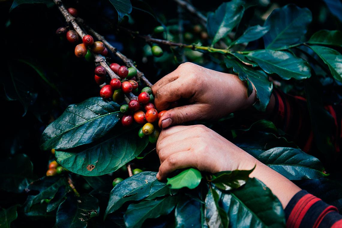 pianta di caffè decaffeinato geneticamente