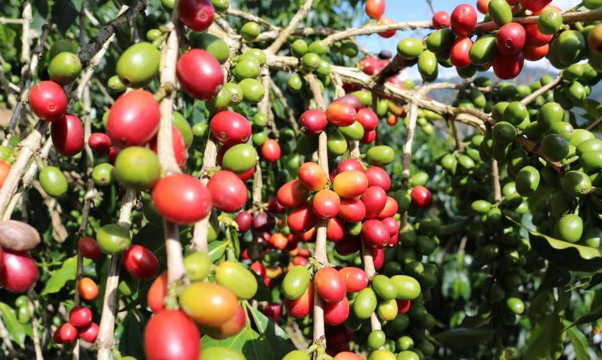 drupe di caffè in piantagione in Colombia