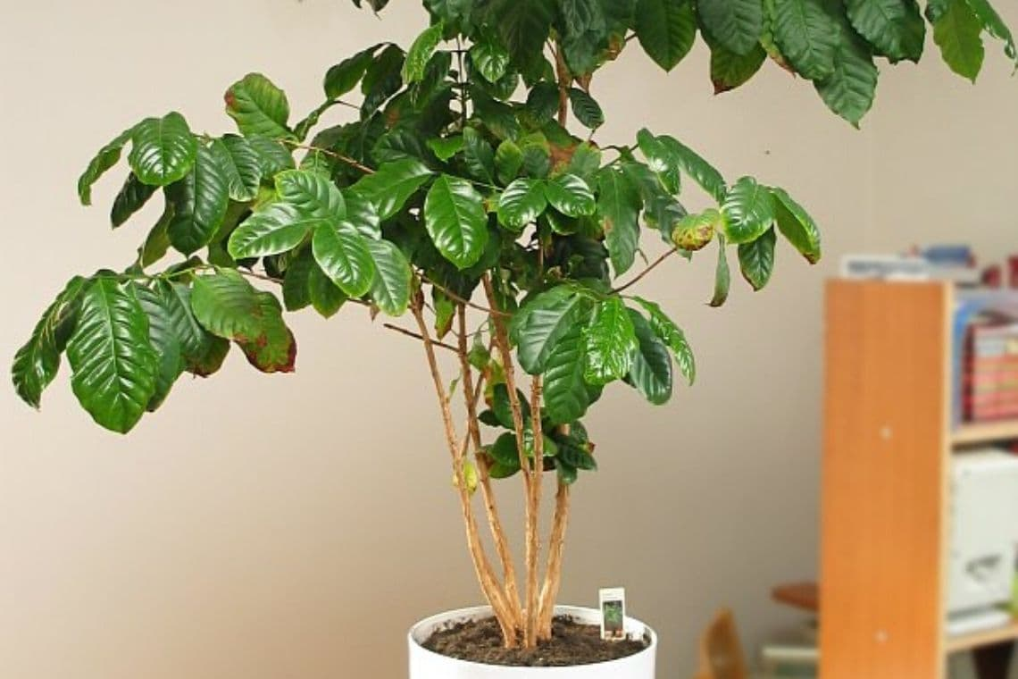 pianta di caffè in casa