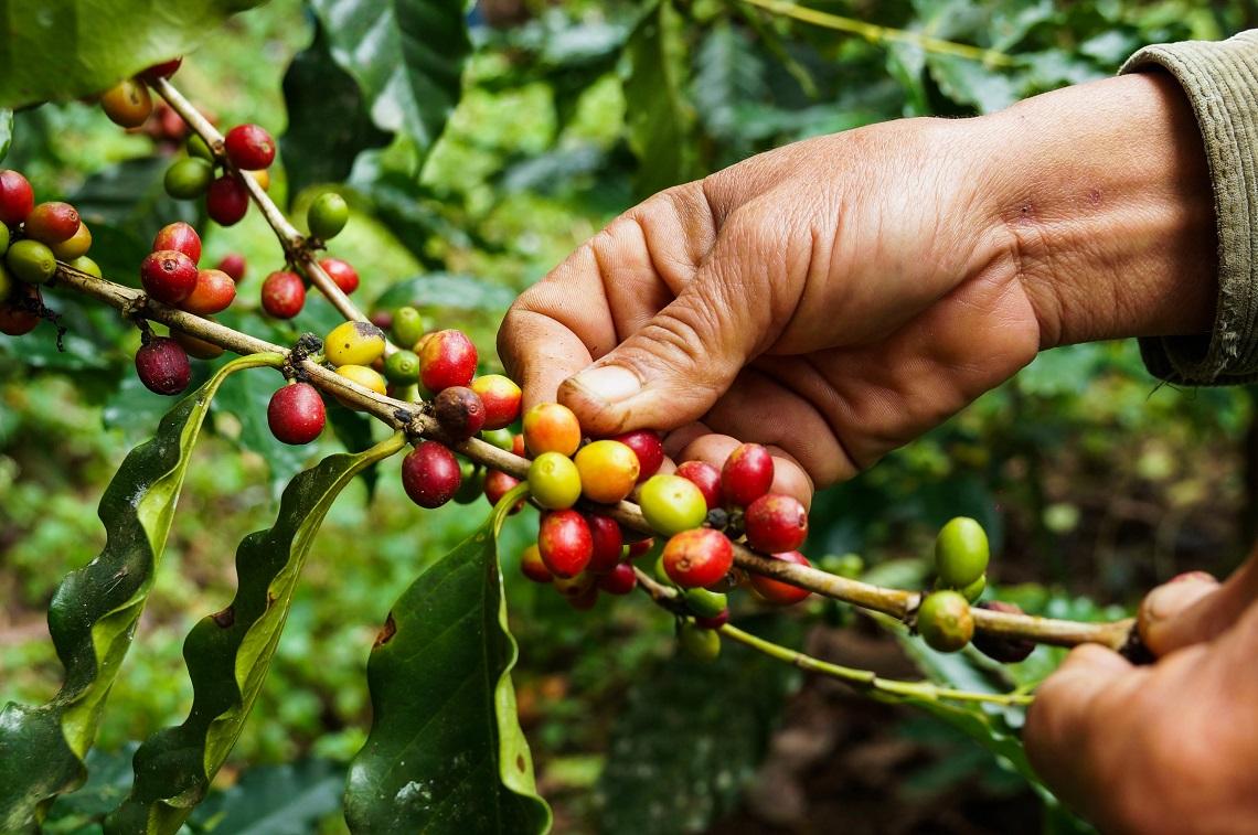 Caratteristiche del caffè arabica